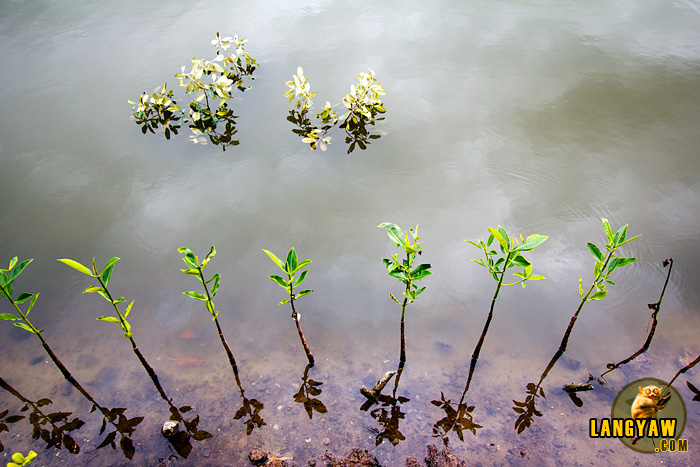 Mangrove seedlings growing along the path