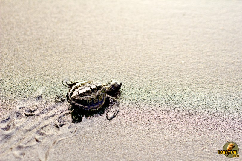 A baby olive ridley turtle at Maitum's beach