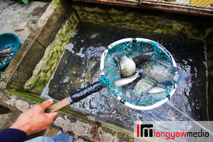 Tilapia being caught from inside a 'pasong' for buying travelers