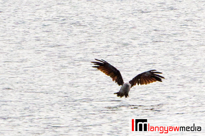 A white breasted eagle fishes at the lake early in the morning