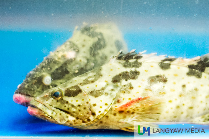 Live groupers at the restaurant's aquariums ensure you have the freshest seafood