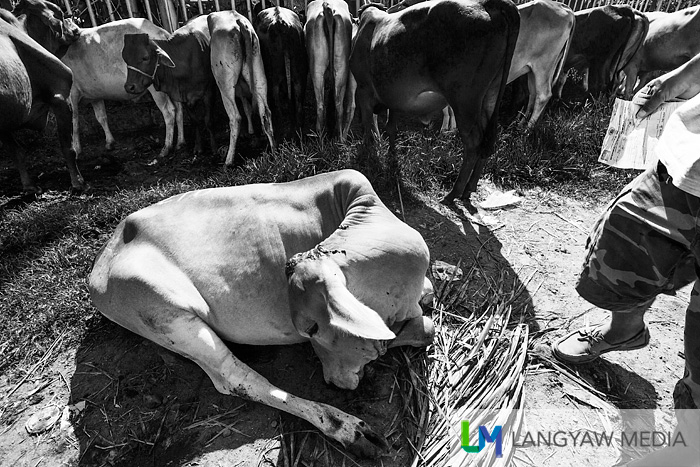 Livestock, typically cows, carabaos, pigs and goats are everywhere during the Malatapy livestock market