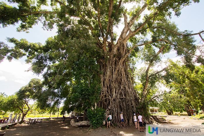 The banyan tree in Maria Aurora is one of the popular tourist stops in the province
