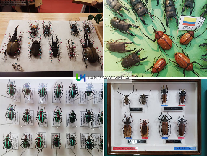 Different types of beetles from different families. At bottom left corner is from the Philippines, genus Pachyrrhynchus