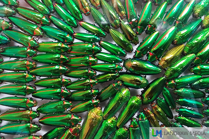 A mosaic of green metallic jewel beetles from different species