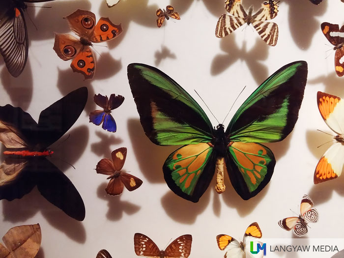 A group of butterflies including one of the biggest, a birdwing butterfly of the genus Ornithoptera. The black one at its left is of genus Atrophaneura