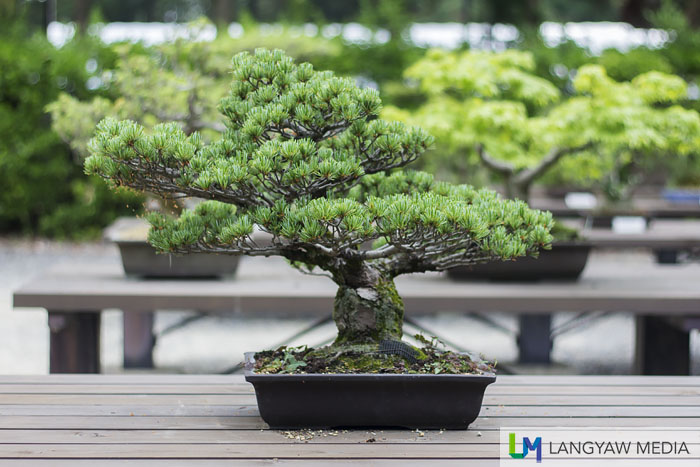 A bonsai at the bonsai area of the garden