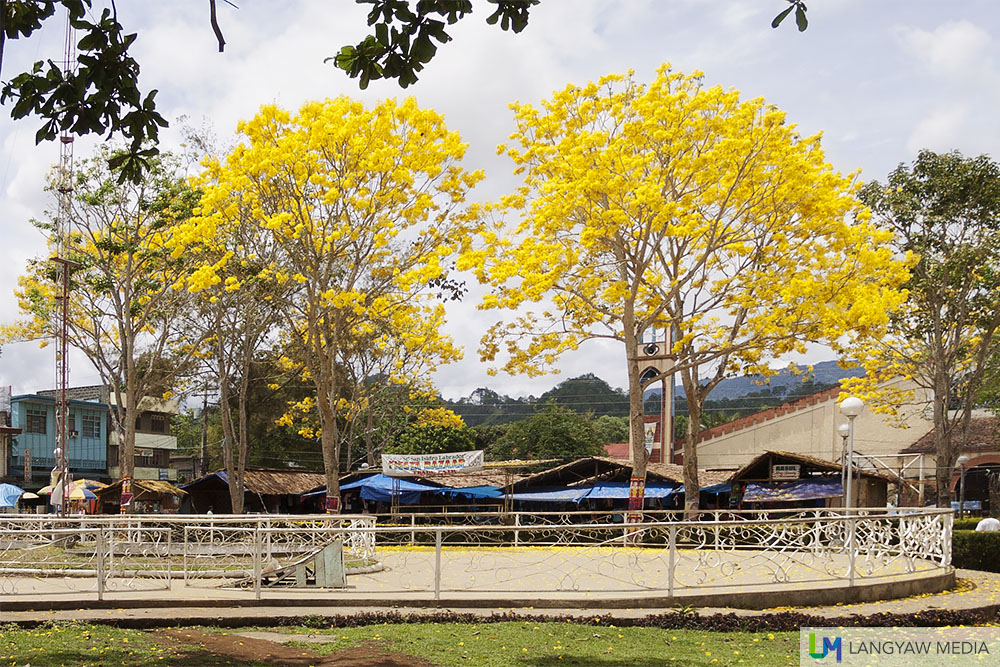 Malaybalay City's narra trees in bloom