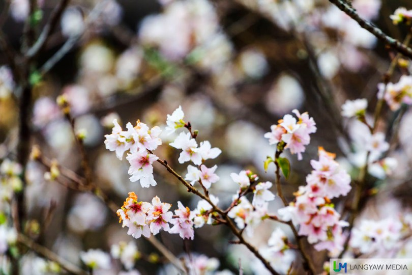 White and pink cherry blossoms