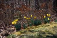 Arboretum - daffodiles