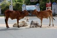Aloof cows, Akkaraipattu