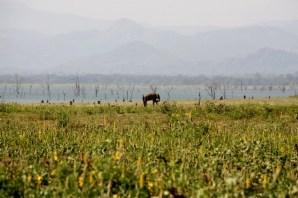 Solitary elephant, Uda Walawe