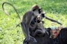 Mischievous monkeys, Anuradhapura