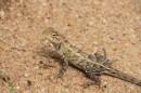 Proud garden lizard, Anuradhapura