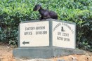 Look-out goat, Badulla