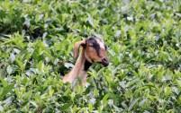 Goat in tea leaves, Badulla