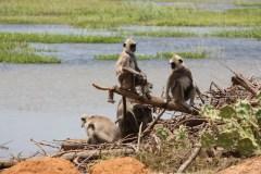 Monkeys in Bundala