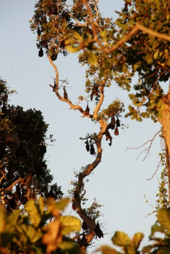 Colony of fruit bats
