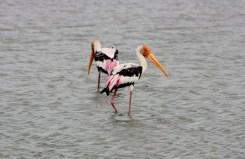 Painted Storks near Kayts, Jaffna peninsula