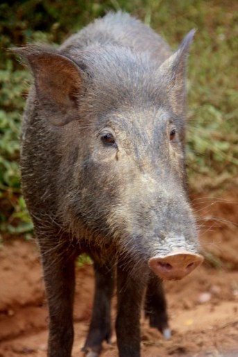 The friendly pig