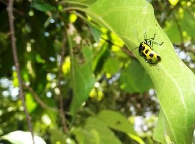 Elaborate bugs at Kandalama