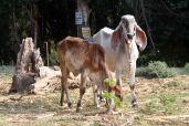 Big eared cows in Kanchanaburi