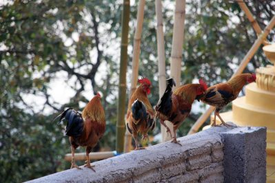 The four cocks, Taunggyi