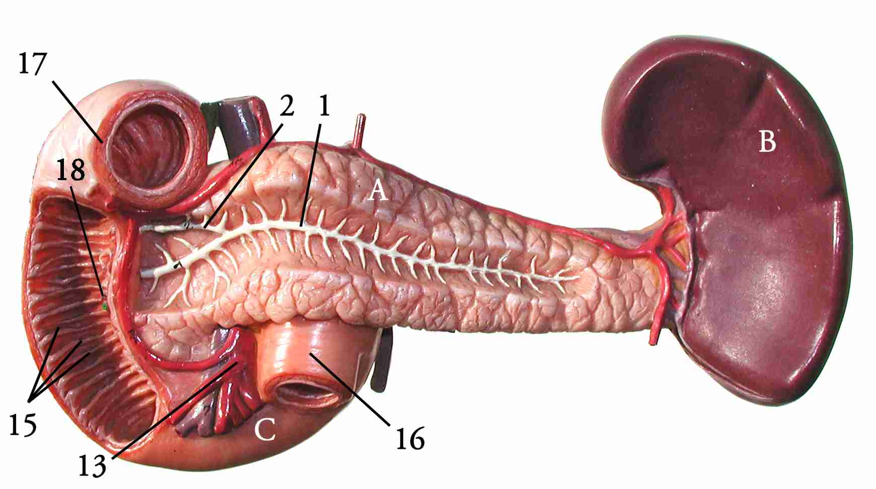 pancreas anatomy diagram c bus relay wiring the spleen human picture location function autos