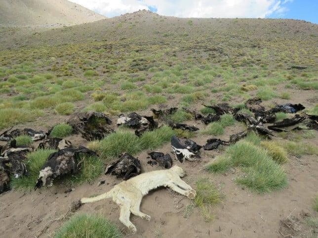 Se presume que agrotóxicos causaron la muerte de 34 cóndores en Malargüe