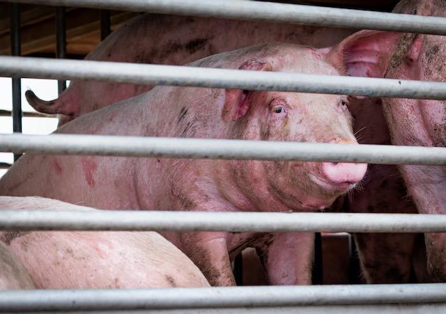 Piden a Carolina del Norte proteger a familias que viven cerca de procesadoras industriales de cerdos