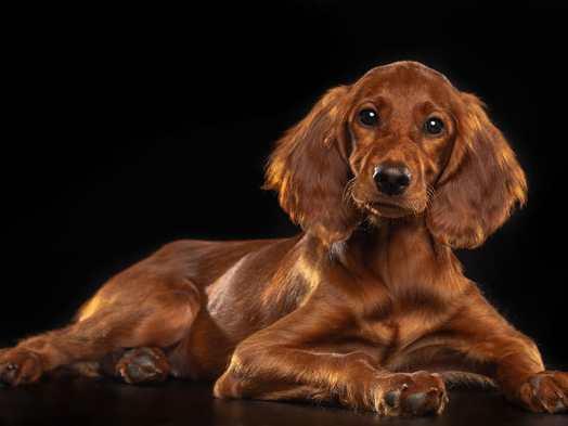 Setter irlandes perro amigable