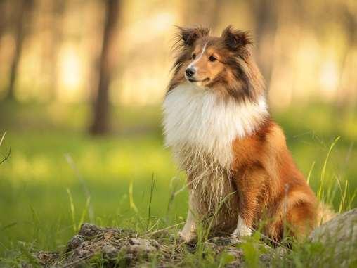 Collie perro amigable