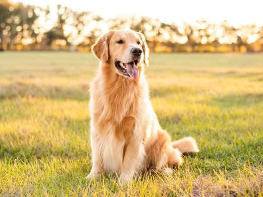 Golden Retriever perro amigable