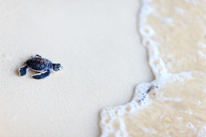 Mas de 100 tortugas marinas encontradas muertas en una playa de Carolina del Sur