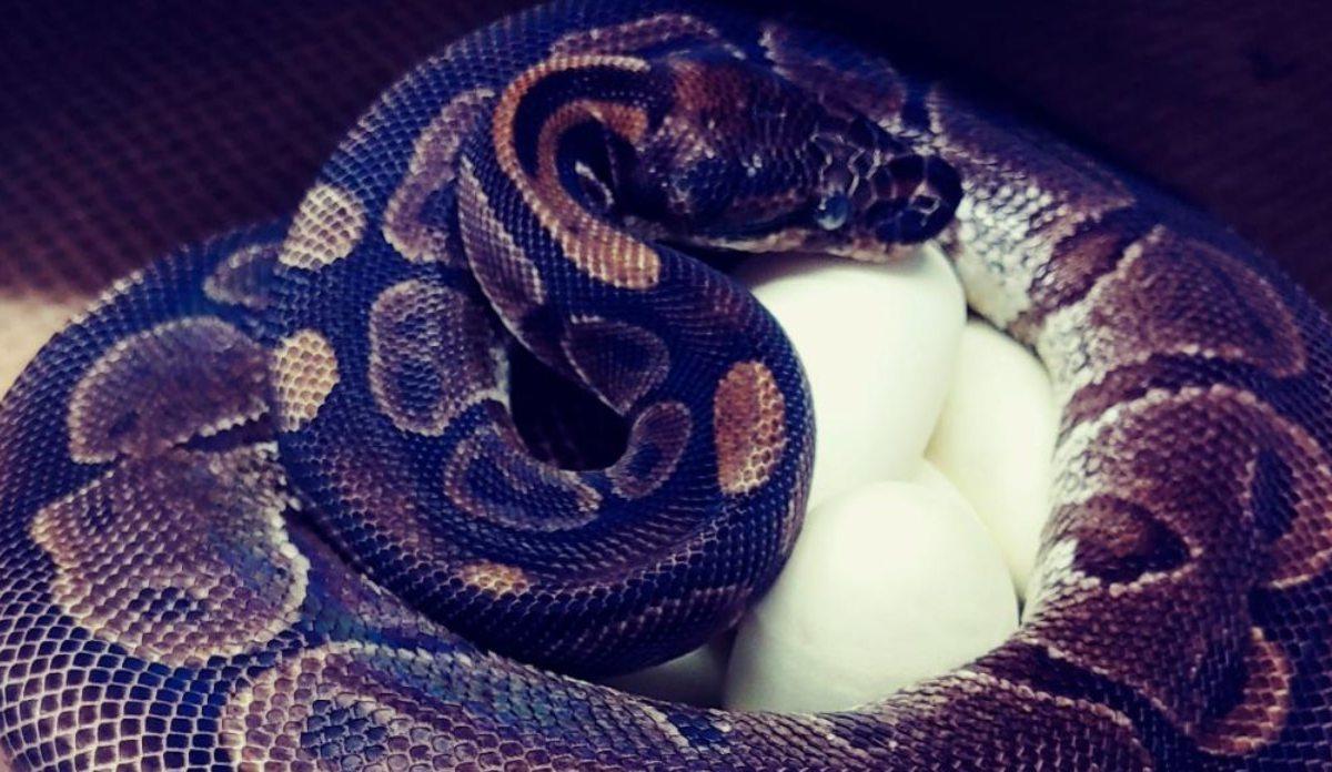 Serpiente pitón puso huevos sin macho