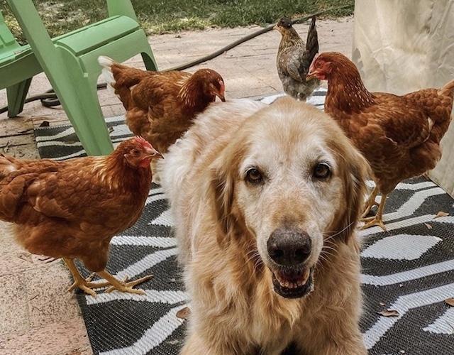 ¡Qué ternura! Perro tiene como mejores amigas a unas gallinas