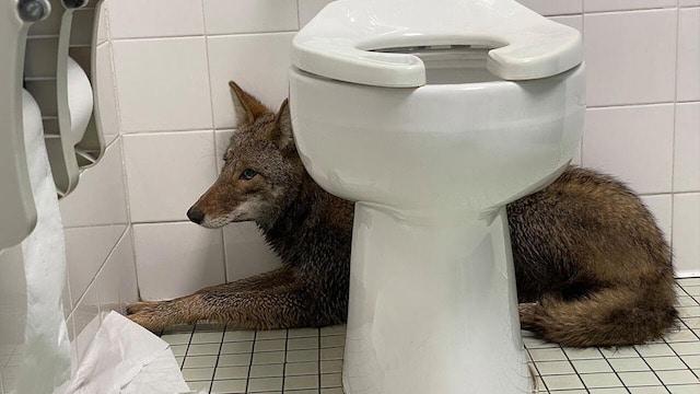 Coyote capturado después de entrar en la escuela primaria de Carolina del Sur durante la entrega matutina