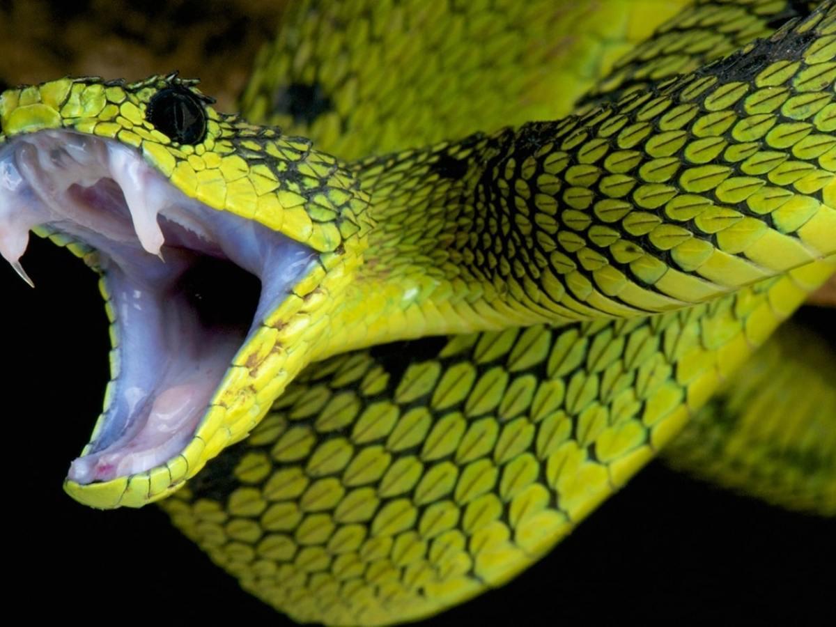 Serpiente Raleigh picadura