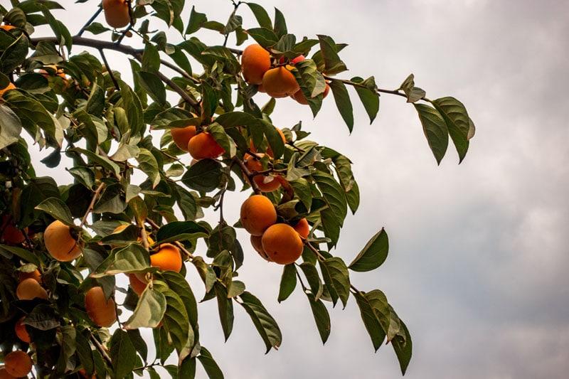 Plantas nativas de Carolina del Norte Common Persimmon
