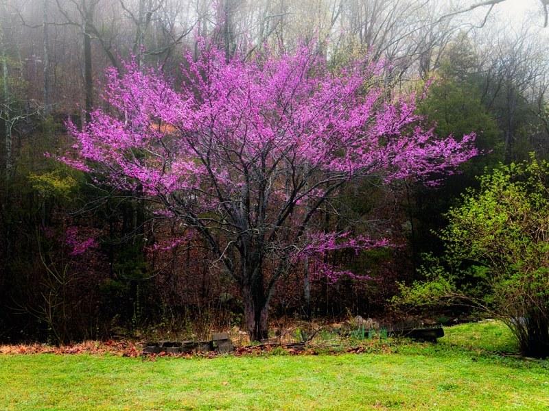 Plantas nativas de Carolina del Norte Eastern Redbud