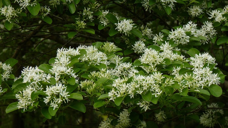 Plantas nativas de Carolina del Norte Fringe Tree