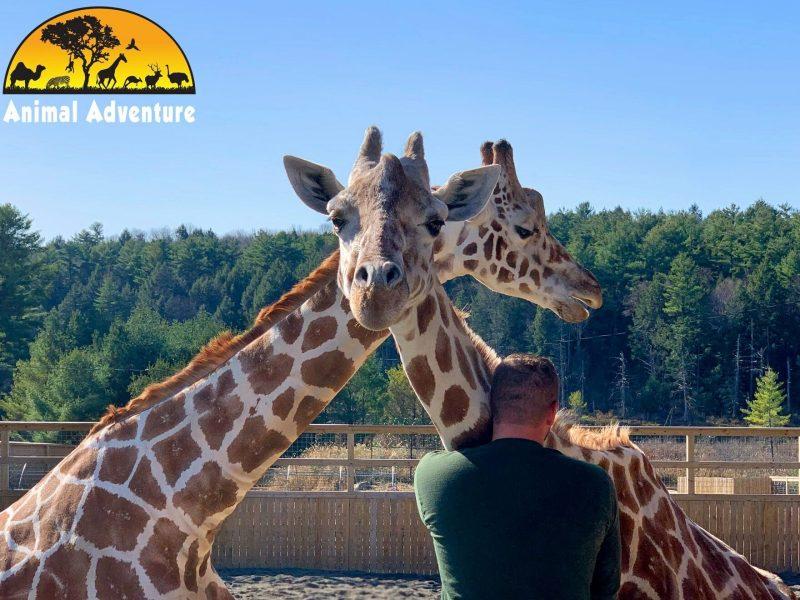 april jirafa viral murió