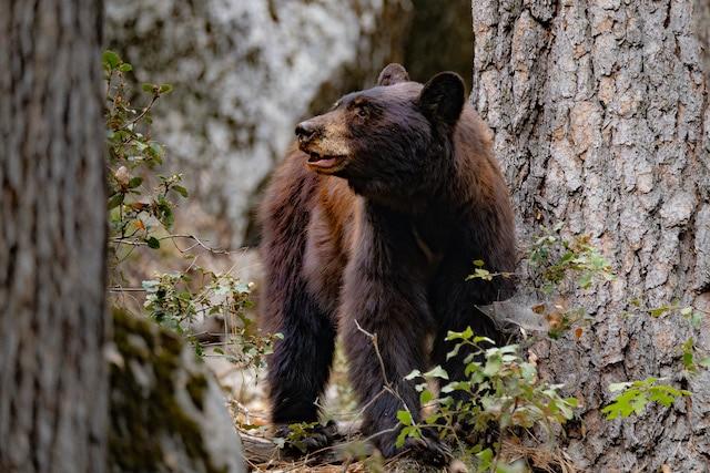 Qué hacer si se encuentra con osos negros en Carolina del Norte
