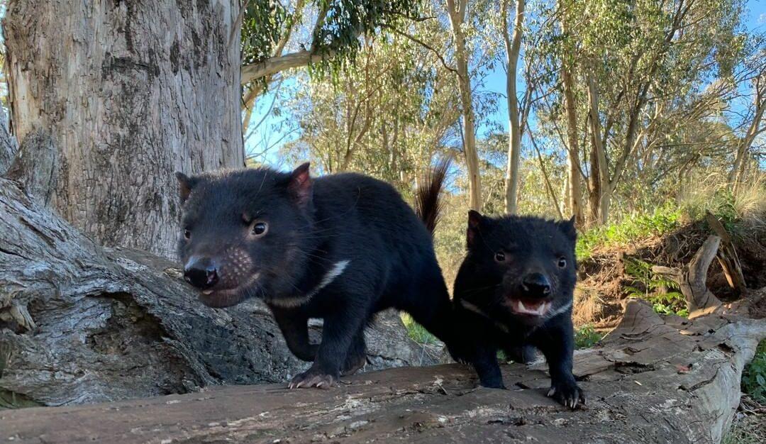 demonios tasmania australia continental