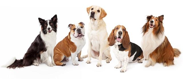 ¿Cuáles son las 10 razas de perros más populares en Charlotte?