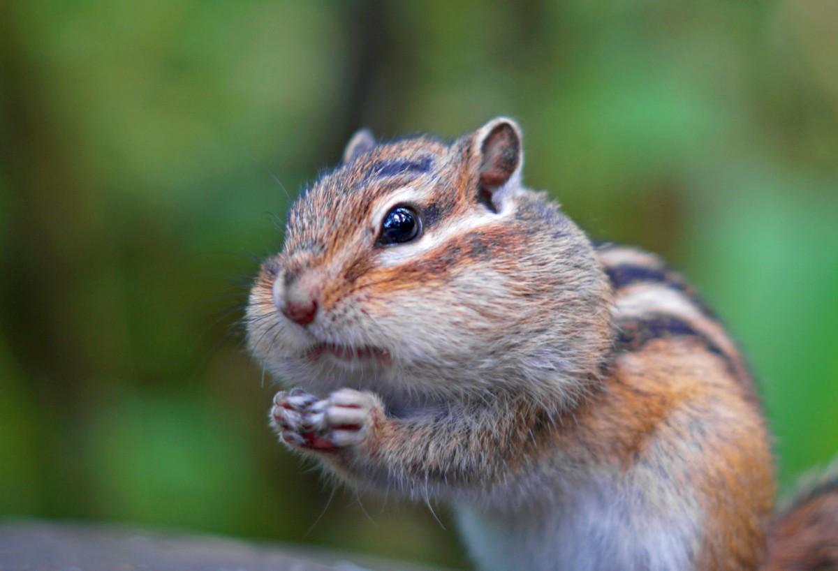 ¿Has visto ardillas listadas últimamente? La vida silvestre de Carolina del Norte necesita su ayuda