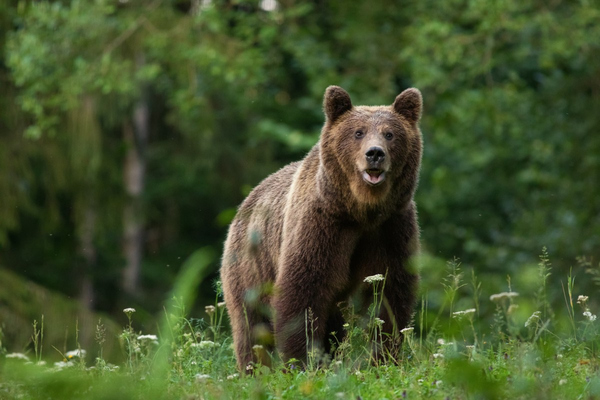 Autoridades intrigadas por casos de osos amputados en Carolina del Norte