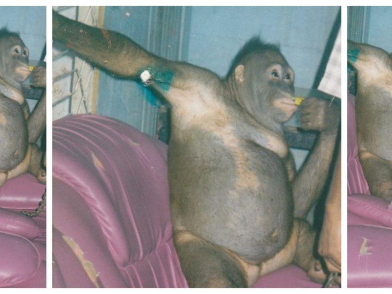 pony orangután violada prostituida