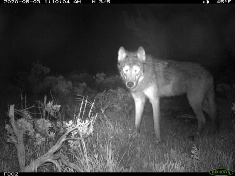 Cachorros de lobo gris son hallados en Colorado, 80 años después de exterminio