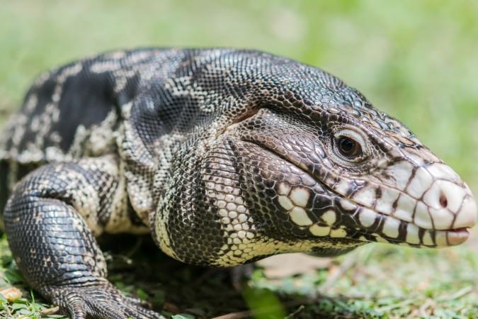 Carolina del Sur anuncia prohibición de lagartijas tegu